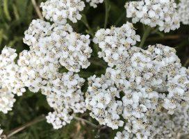 Helsebringende urter fra «hagen»