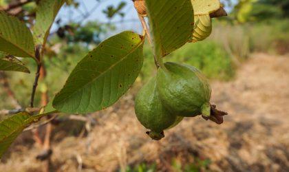 guava 2